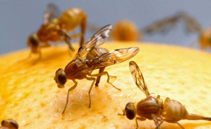 tips tegen fruitvliegjes