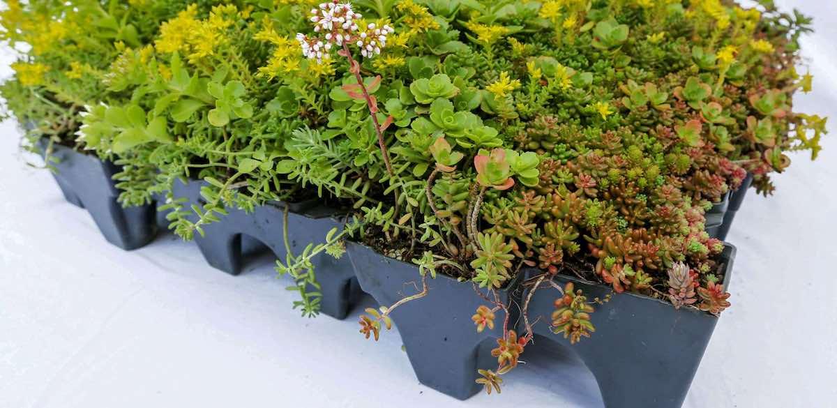 hoe wordt dak groen gemaakt met sedum planten